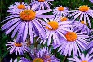 sluit-het-tuinseizoen-af-met-herfstasters_n